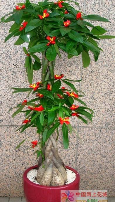 鲜花店-发财树15