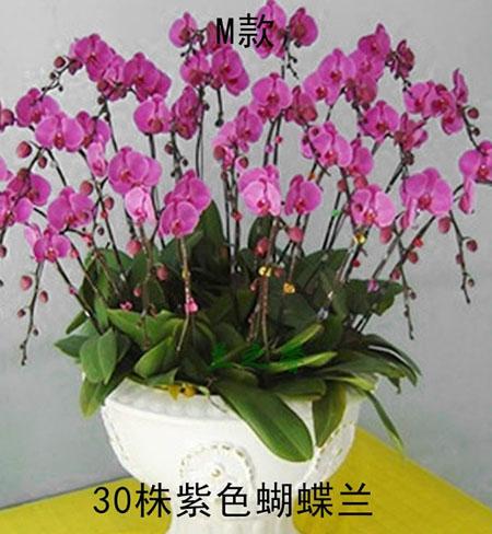 订花-蝴蝶兰