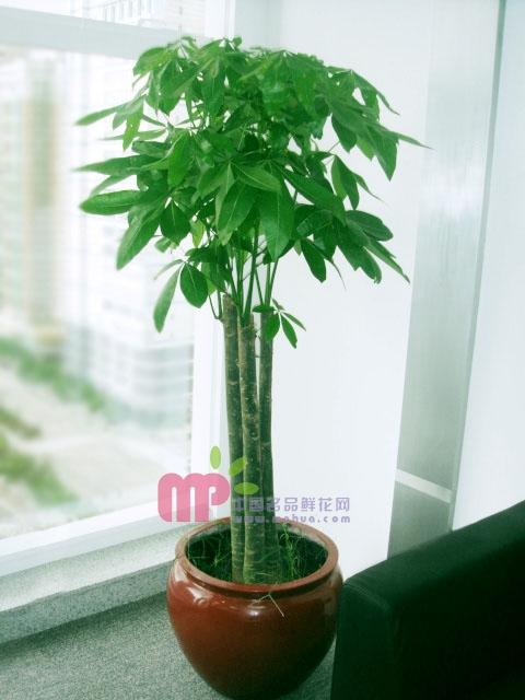 曲靖绿植花卉-发财树