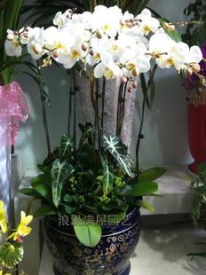 驻马店绿植花卉-白色蝴蝶兰