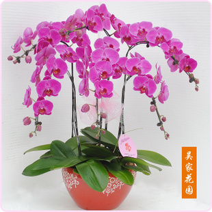 玉林绿植花卉-蝴蝶兰