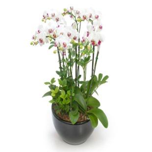 驻马店绿植花卉-蝴蝶兰