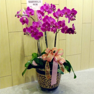 合肥绿植花卉-蝴蝶兰