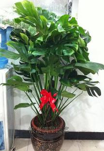 菏泽绿植花卉-龟背竹