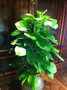 玉林绿植花卉-大叶绿萝