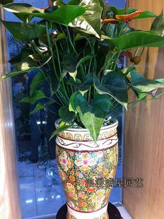 定州绿植花卉-彩掌