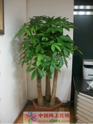 驻马店绿植花卉-发财树2