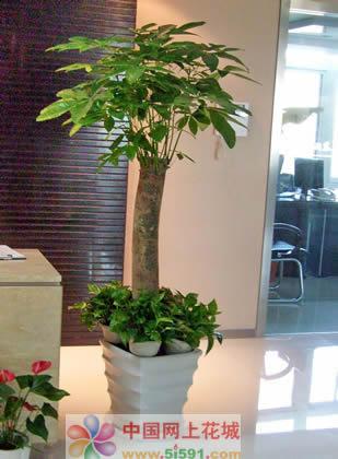 延吉绿植花卉-发财树3
