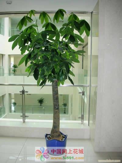 菏泽绿植花卉-发财树6