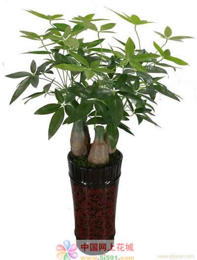 东莞绿植花卉-发财树7