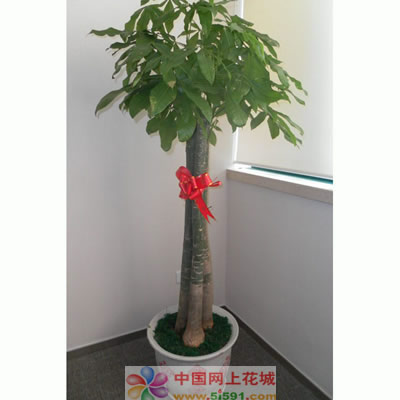 合肥绿植花卉-发财树8