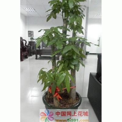 定州绿植花卉-发财树9