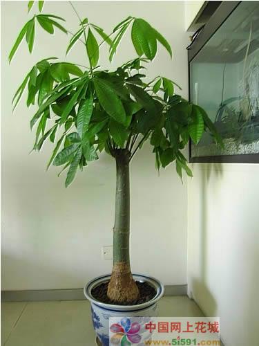驻马店绿植花卉-发财树10