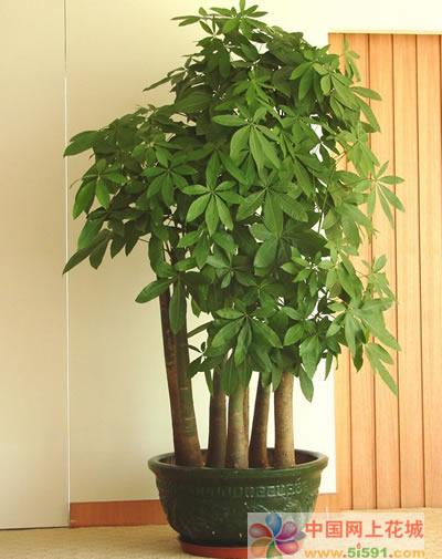 诸暨绿植花卉-发财树13