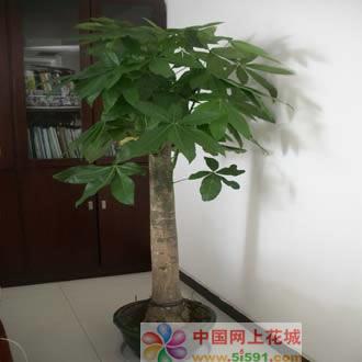 东莞绿植花卉-发财树14