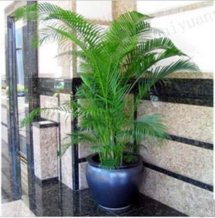 菏泽绿植花卉-散尾葵2