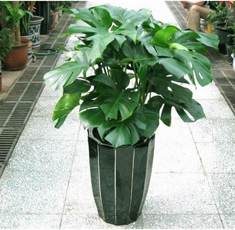 曲靖绿植花卉-龟背竹2