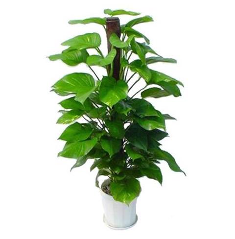 菏泽绿植花卉-绿萝