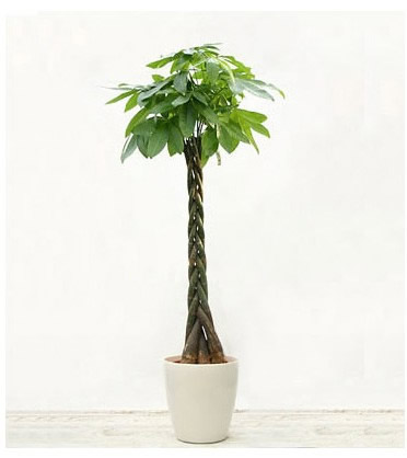 定州绿植花卉-发财树16