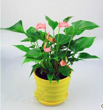 合肥绿植花卉-粉掌