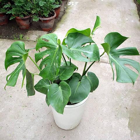定州绿植花卉-龟背竹3