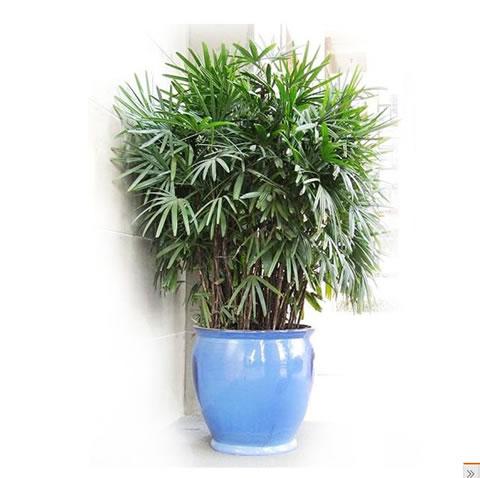 诸暨绿植花卉-棕竹