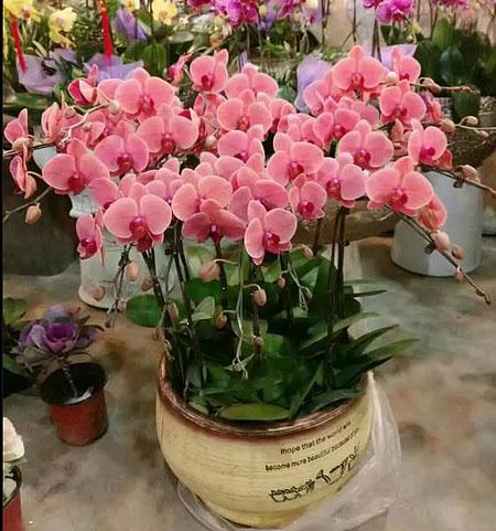 延吉绿植花卉-蝴蝶兰