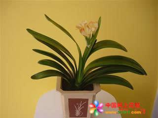 诸暨绿植花卉-君子兰